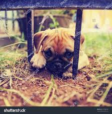 cute pug chihuahua mix puppy chug stock photo 297586658 shutterstock