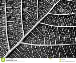 black and white leaf texture stock image image 49354507