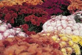 how to transplant garden mums from pots into the ground home