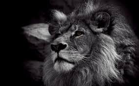 kii 76 black and white lion wallpaper pictures of black and