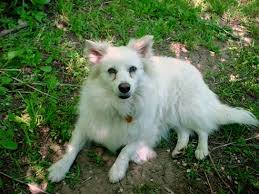 american eskimo dog intelligence american eskimo dog photos pictures of eskies
