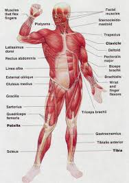Full Body Muscle Anatomy Human Anatomy Muscles Of The Body Full Body Muscles Human