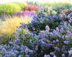 Shrub With Fragrant Purple Flowers - 9 favorite flowering shrubs for spring and summer
