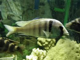 hap deep water hap wikipedia