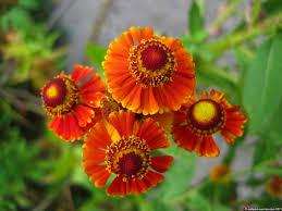 sunrise 91 ault park summer flower garden ailanthus webworm