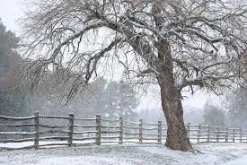 williamsburg snowy tree ll photograph by jim newman