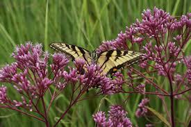 online get cheap amethyst butterfly astilbe u0027amethyst u0027 archives the obsessive neurotic gardener