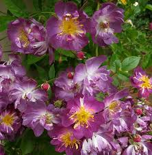 64 best garden thornless images on pinterest thornless roses