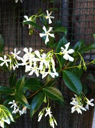 star jasmine trellis thewealthbuilding