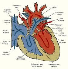 Anatomy Of Human Heart Pdf Tag Human Heart Physiology Pdf Archives Human Anatomy Charts