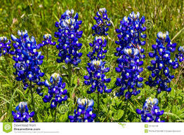 closeup of a cluster of texas bluebonnet wildflowers royalty free