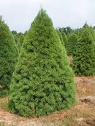 white pine tree michigan grown evergreen trees balled burlapped nursery stock