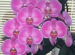 moth orchid moth orchids yates