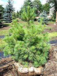 eastern white pine tree farm nursery sale mn arbor hill tree farm