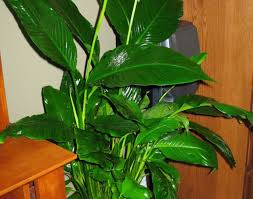 sophisticated non toxic house plants contemporary best