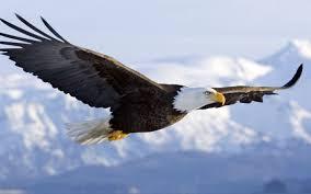 Bald Eagle On Flag Bald Eagle Wallpaper Iphone 6 Hd Wallapaper