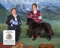 belgian sheepdog nationals news u2013 verseau belgian sheepdogs