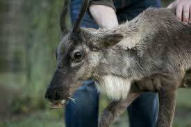 reindeer bengtson u0027s u cut christmas trees