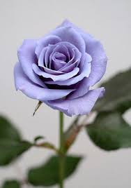 Blue Roses For Sale World U0027s First Blue Roses After 20 Years Of Research Rose