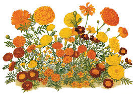 native plant society of new mexico pacific horticulture society the marigold in california