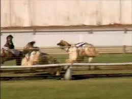 afghan hound speed afghan hound racing border park 2009 youtube