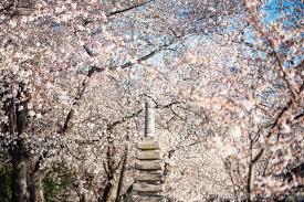 cherry blossom watch update march 23 2017