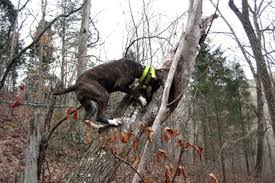 bluetick coonhound climbing tree hunting dogs best dog breeds for every game animal outdoor life