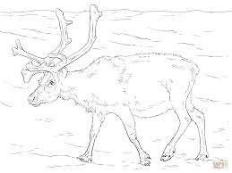 svalbard reindeer coloring page free printable coloring pages