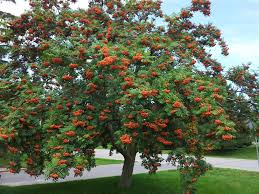large mature mountain ash tree in late summer showing plentiful