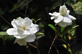 file gardenia kolkata 2011 03 29 2095 jpg wikimedia commons