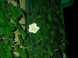 Moon Flowers Moonflowers