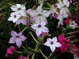 Fragrant Bedding Plants - growing nicotiana information on the nicotiana plant