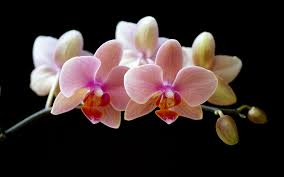 Flower Of Orchid - orchid flower orchids photo wallpaper for your desktop white