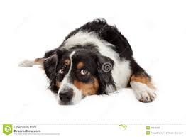 t shirt australian shepherd white australian shepherd dog laying down stock photography