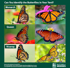 quiz will these monarch look alikes fool you the national