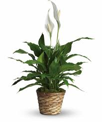 these large beautiful green plants which produce white blooms