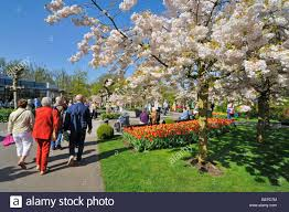 tourists walking along colourful tulips and japanese cherry trees
