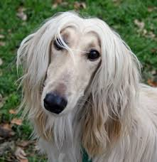 afghan hound sale afghan hound information dog breeds at thepetowners