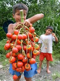 native brazilian plants very popular in the brazilian amazon the tucumã fruit has high