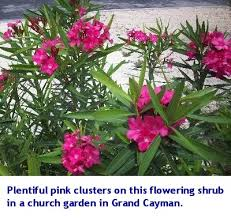 Tropical Flowers And Plants - pink tropical flowers from the caribbean life and lawns