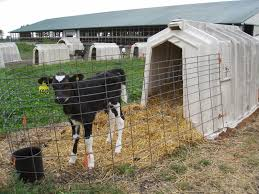 Calf Hutches For Sale The Dairy Mom Why Are Calves Separated From Their Mothers