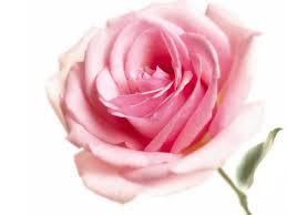 List Of Flowers by List Of Flowers Bella Calla