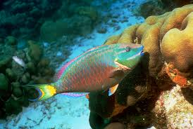 tropical fish cause trouble as climate change drives them toward