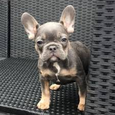 american pitbull terrier puppies for sale uk miniature french bulldog puppies for sale uk u2013 popular breeds of