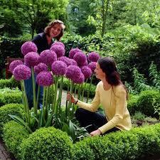 allium flowers aliexpress buy 100 seeds pack purple allium giganteum
