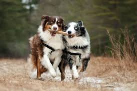 belgian shepherd skin problems high energy dog breeds