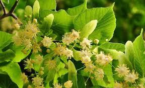 linden flower linden flowers tea iythealth