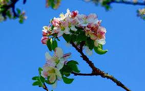 flower floret flower apple blossom tree sapling apple