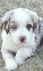 australian shepherd fur australian shepherd and english springer spaniel pup australian