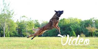 belgian malinois in movies malinois not a dog for most